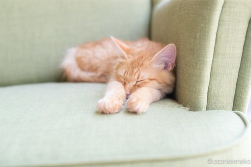アトリエイエネコ Cat Photographer 42038305341_1787228849 1日1猫!保護猫カフェ 森のねこ舎 (や)に行ってきた♪その2 1日1猫!  里親様募集中 猫写真 猫カフェ 猫 森のねこ舎 子猫 大阪 初心者 写真 保護猫カフェ 保護猫 カメラ Kitten Cute cat