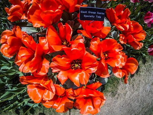 Skagit Valley Tulips-200