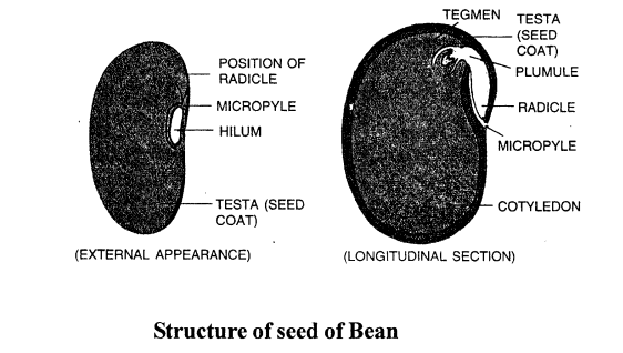selina-concise-biology-class-6-icse-The FLOWER-2223