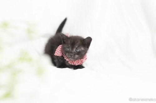 アトリエイエネコ Cat Photographer 41908302222_b5a5879f39 1日1猫!高槻ねこのおうち さつきちゃん♪ 1日1猫!  黒猫 高槻ねこのおうち 里親様募集中 譲渡会 猫写真 猫 子猫 大阪 初心者 写真 保護猫 カメラ Kitten Cute cat