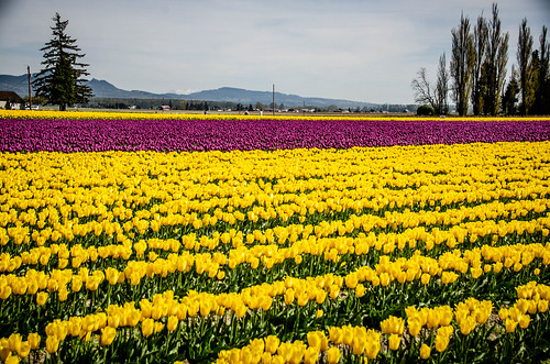 Skagit Valley Tulips-197
