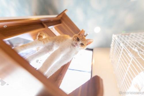 アトリエイエネコ Cat Photographer 42038294221_31d10f5429 1日1猫!保護猫カフェ 森のねこ舎 (や)に行ってきた♪その1 1日1猫!  里親様募集中 猫写真 猫カフェ 猫 子猫 大阪 写真 保護猫カフェ 保護猫 スマホ カメラ Kitten Cute cat