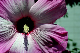 giant pink flower