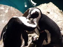 (c) Hilltown Families - Penguins at the New England Aquarium