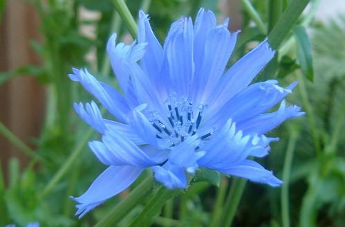 Flowering Chicory