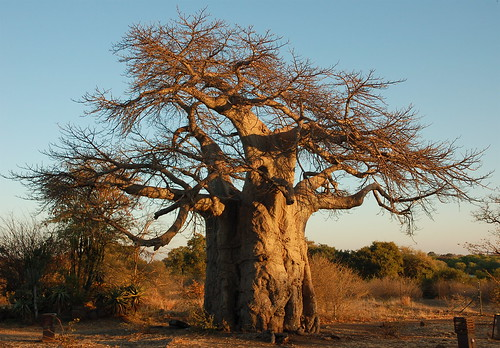 Giant baobab - foto: Lee Otis, flickr