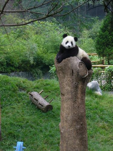 Panda looking at us from Stump