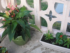 Anthurium and Annuals