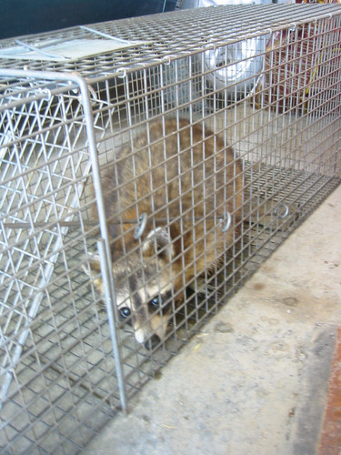 caught raccoon