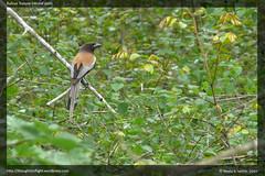 Rufous-Treepie-(recordshot)