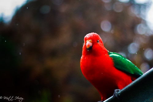 king parrot by Matt Hovey
