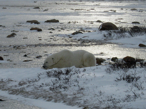 Polar Bear near Churchill