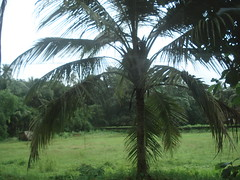 small coconut tree