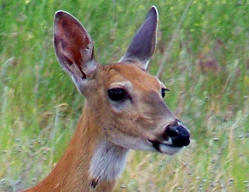 White-tail doe, yearling