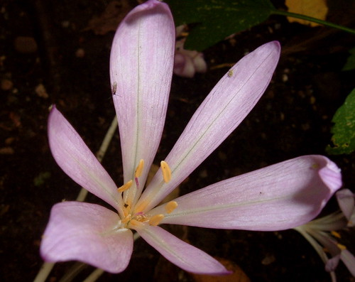 Autumn Crocus 2
