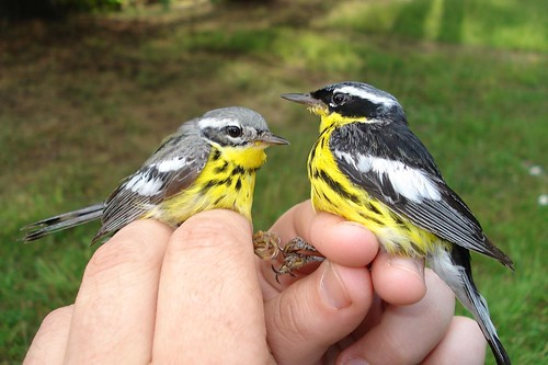 Mr. and Mrs. Magnolia Warbler
