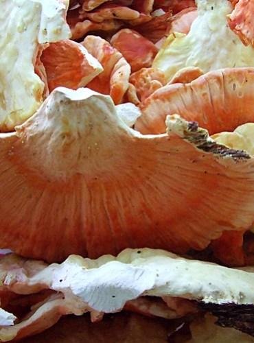 chicken mushrooms