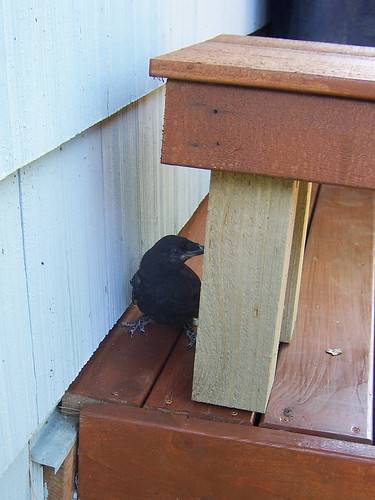 hiding crow