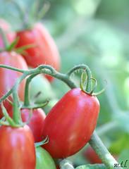 Pomodori / Tomatoes