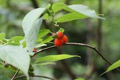 四季の森公園のコウゾ(Paper mulberry at Shikinomori Park, Japan)