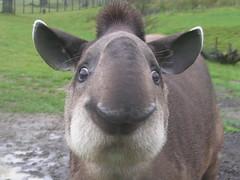 Brazilian Tapir at Longleat