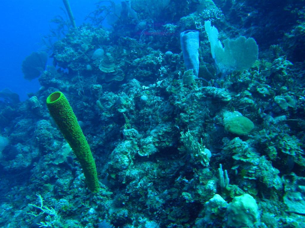 Corales y esponja (Aplysina fistularis)
