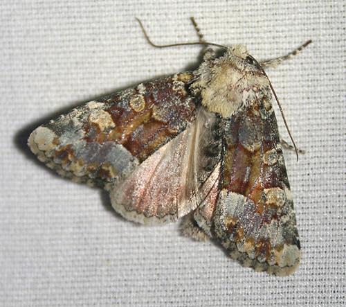 Violet Brocade Moth