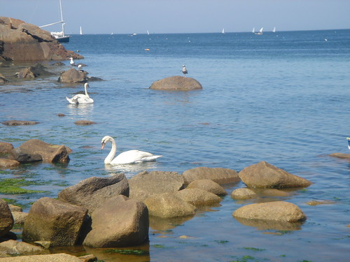 Front Beach Swans