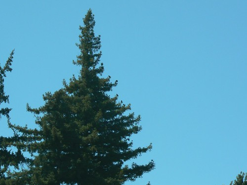 20 Ravens in 1 tree