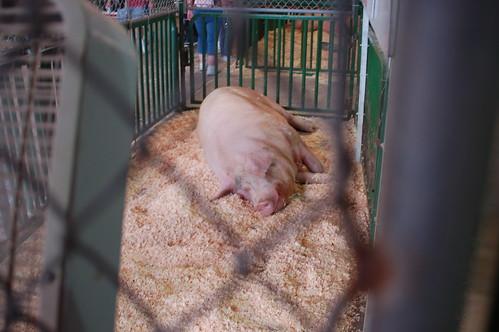 World's Largest Boar!