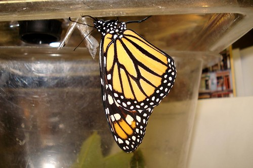 Just Hatched Monarch