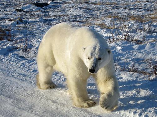 A polar bear near Churchill, Manitoba