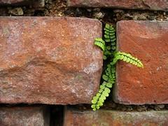 Fern Growing from Brick Wall