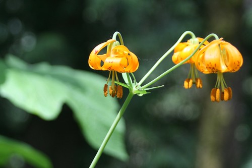 Native Tiger Lilies.JPG