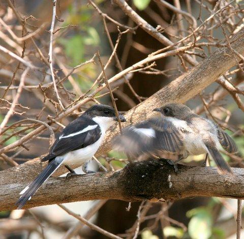 shrike feeding her demanding baby