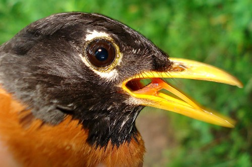 American Robin tongue Flick