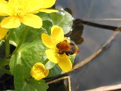 Bumblebee on Marsh Marigold