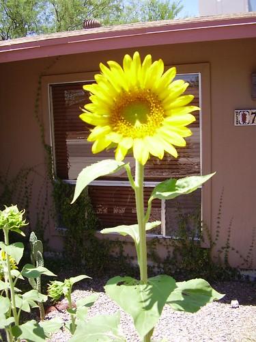 The tallest sunflower