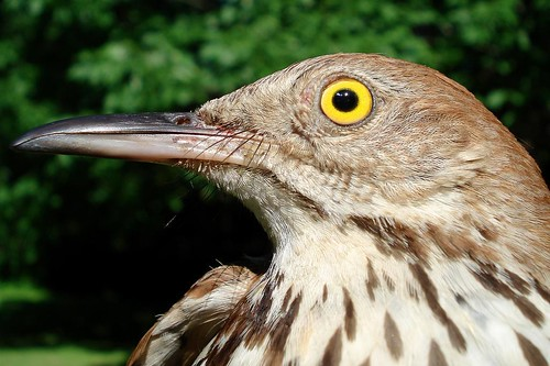 Brown Thrasher up close