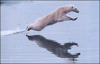 polar_bear_leap
