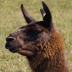 guard llama crop