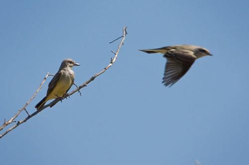 Western Kingbirds