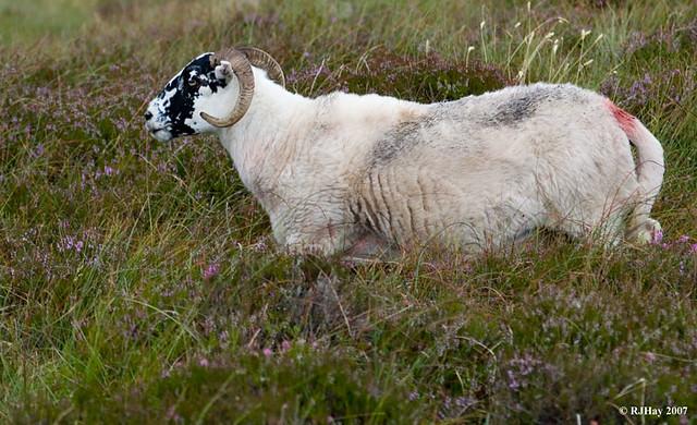 Sheep in Heather