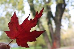 leaf 117/365