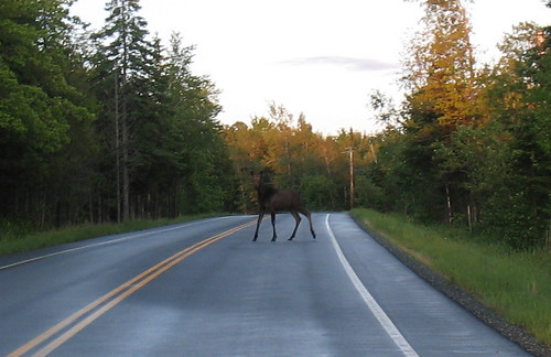 moose up close