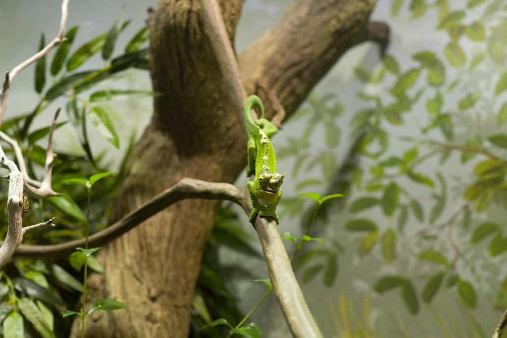 Jackson's Chameleon by nerdcoregirl, on Flickr
