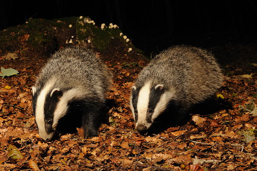 Badgers in beech woods September 2010 Richard Hopkns