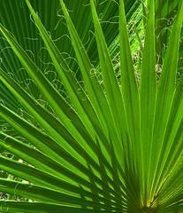 Palm Fanfare