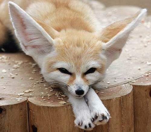 Photo of an African Fennec Fox