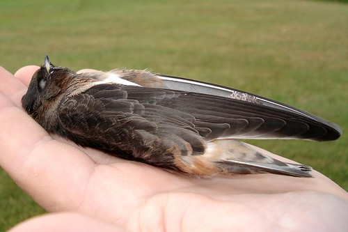 juv Cliff Swallow